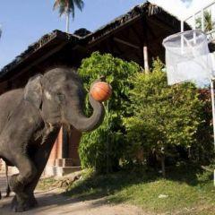 Слоны тоже играют в баскетбол