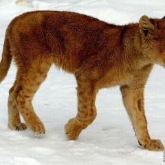 Домашний лев