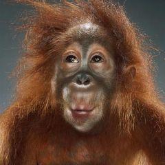 «Портреты обезьян» от Джилл Гринберг (Jill Greenberg)