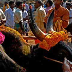 Джалликатту – на быка голыми руками