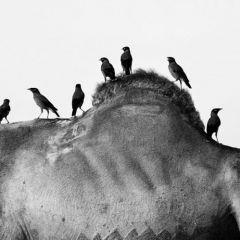 Пушкарские верблюды