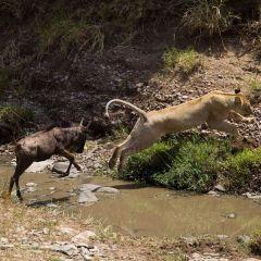 Антилопа Гну VS львица