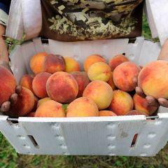 Процесс приготовления бренди из персиков