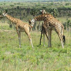 Перевозка жирафов