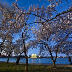 Вашингтонское цветение японской вишни
