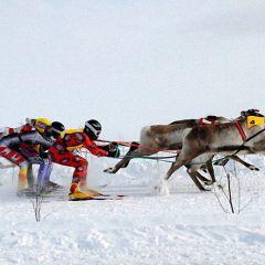 Лапландские гонки на оленях