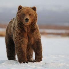 Медведь Кроноцкого заповедника