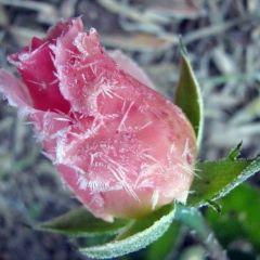Цветы во власти льда