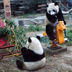 В гости к гигантским пандам