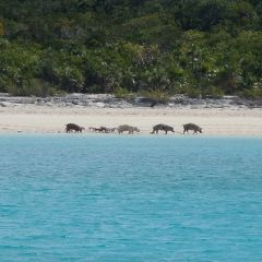 Свиньи на пляже