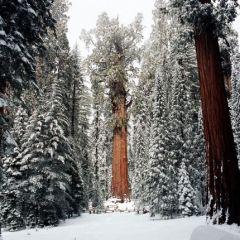 Старейшее дерево, которому 3200 лет