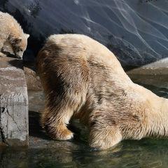 Первый выход медвежонка из зоопарка Петербурга