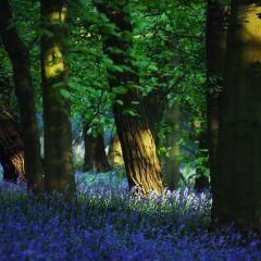 Бельгийский голубой лес в фотографиях Kilian Sch?nberger