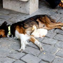 Дружба уточки и собачки
