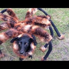 Собака, переодетая пауком, пугает людей на улицах