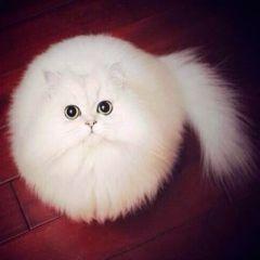 Круглый кот