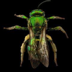 Макрофотографии пчел
