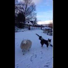 Овца, которая считает себя собакой