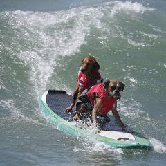 Собаки на серфах