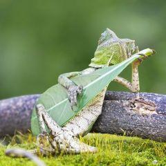 Ящерица с листиком-гитарой в руках