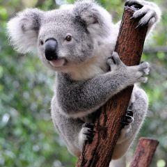10 интересных фактов о коалах