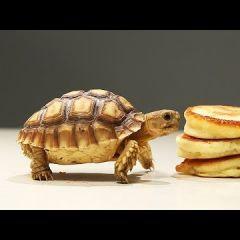 Черепашка ест небольшие блинчики