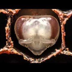 60-секундный ролик рассказывает о том, как развивается пчела в первые 3 недели своей жизни