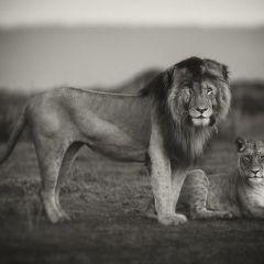 Львы в фотографиях Pekka J?rventaus