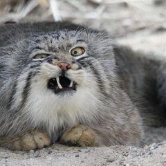 Манулы – самые эмоциональные животные на Земле