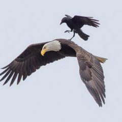 Ворона, которой удалось оседлать орла