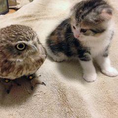 Необычные друзья: совенок и котенок