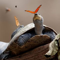 Бабочки на черепахах в фотографиях Julija Televi?i?t?