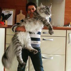 Мейн-кун: огромные кошки с удивительной грацией