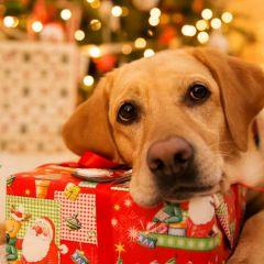 Рождественский лабрадор в фотографиях Elpida Ismael