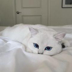 Коби — кошка с самыми красивыми голубыми глазами