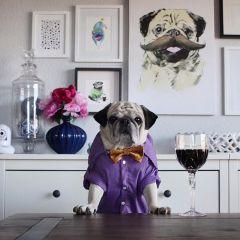 Мопс Рокко: стильная звезда Инстаграма