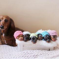 Такса и ее 6 малышей позируют в первой совместной фотосессии