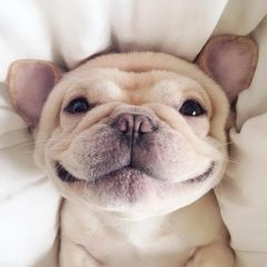 Французский бульдог Мило и его очаровательная улыбка