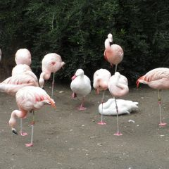 10 уток, которые считают себя фламинго