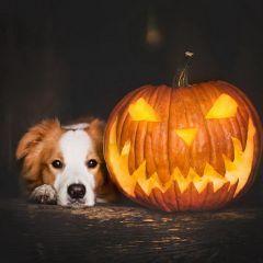 Собаки и тыквы: фотографии Alicja Zmys?owska