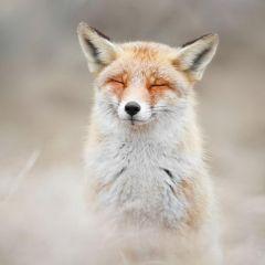 Дикие лисы в фотографиях Roeselien Raimond