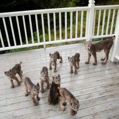 Очаровательные рыси пришли в гости к жителю Аляски