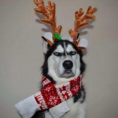 Хаски, которая очень не любит Новый Год