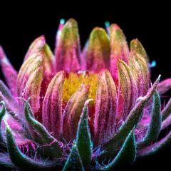Цветы под ультрафиолетом: работы Craig Burrows